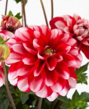 Dahlia Lubega Power Scarlet White, Dahlia Lubega Power Scarlet White
