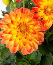 Dahlia Lubega Power Yellow Orange, Dahlia Lubega Power Yellow Orange