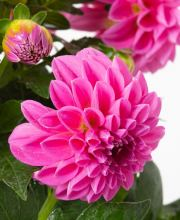 Dahlie Lubega Power Rose ®, Dahlia Lubega Power Rose ®