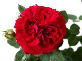 Rosa Red Flower Circus