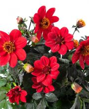 Dahlia hortensis  Happy Day Red