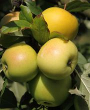 Apfel Golden Delicious, Malus Golden Delicious