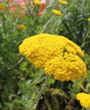 Gold-Garbe Cloth of Gold, Achillea filipendulina Cloth of Gold