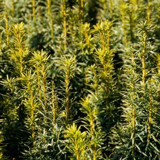 Eibe Germers Gold / Taxus baccata Germers Gold
