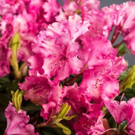 Rhododendron Berlinale