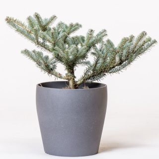 Koreatanne Blue Magic / Abies koreana Blue Magic