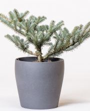 Koreatanne Blue Magic, Abies koreana Blue Magic