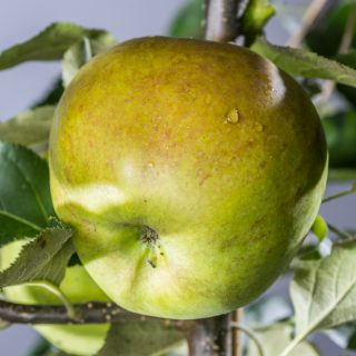 Apfel Jonagored / Malus Jonagored