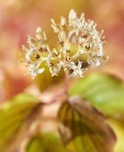 Feuer-Hartriegel Midwinter Fire, Cornus sanguinea Midwinter Fire