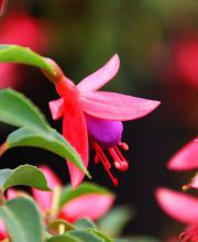 Fuchsie Tom Thumb, Fuchsia Tom Thumb