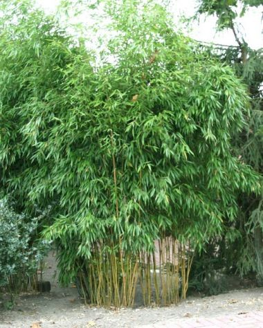 gelber zickzack bambus phyllostachys aureosulcata. Black Bedroom Furniture Sets. Home Design Ideas
