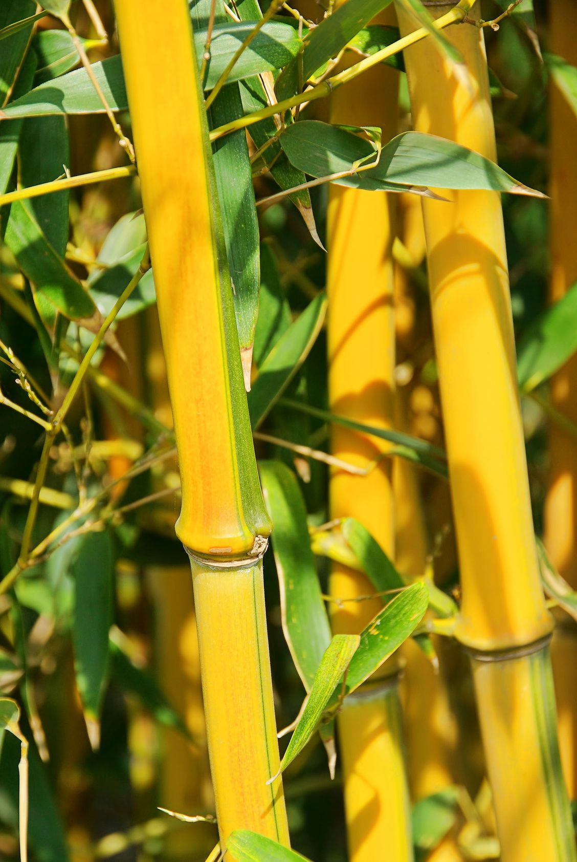 golden gefurchter bambus phyllostachys aureosulcata. Black Bedroom Furniture Sets. Home Design Ideas