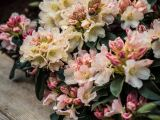 Rhododendron Percy Wiseman, Rhododendron yakushimanum Percy Wiseman