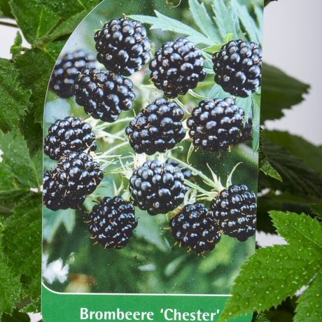 Brombeere Chester Thornless