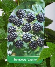 Brombeere Chester Thornless, Rubus fruticosus Chester Thornless