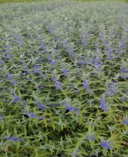 Bartblume Heavenly Blue, Caryopteris clandonensis Heavenly Blue