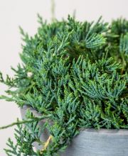 Flacher Wachholder Blue Acres, Juniperus horizontalis Blue Acres