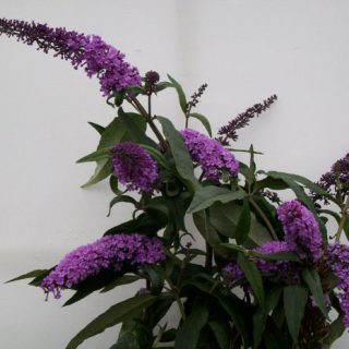 Sommerflieder Flaming Violett / Buddleja davidii Flaming Violett