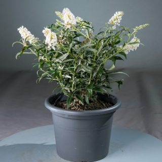 Sommerflieder White Ball / Buddleja davidii White Ball