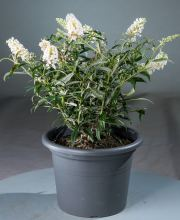 Sommerflieder White Ball, Buddleja davidii White Ball