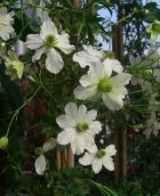 Waldrebe Early Sensation, Clematis Early Sensation