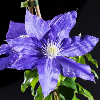 Waldrebe H F Young / Clematis H F Young
