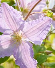 Waldrebe Little Nell, Clematis viticella Little Nell
