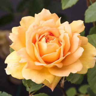 Golden Celebration - David Austin Strauchrose / Rosa Golden Celebration