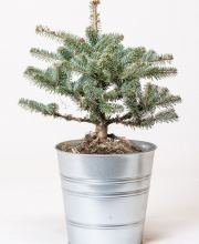 Zwerg-Koreatanne Bonsai Blue, Abies koreana Bonsai Blue