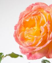 Rose Speelwark ®