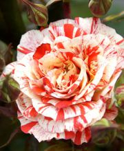 Rose Philatelie