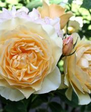 Strauchrose Yellow Romantica