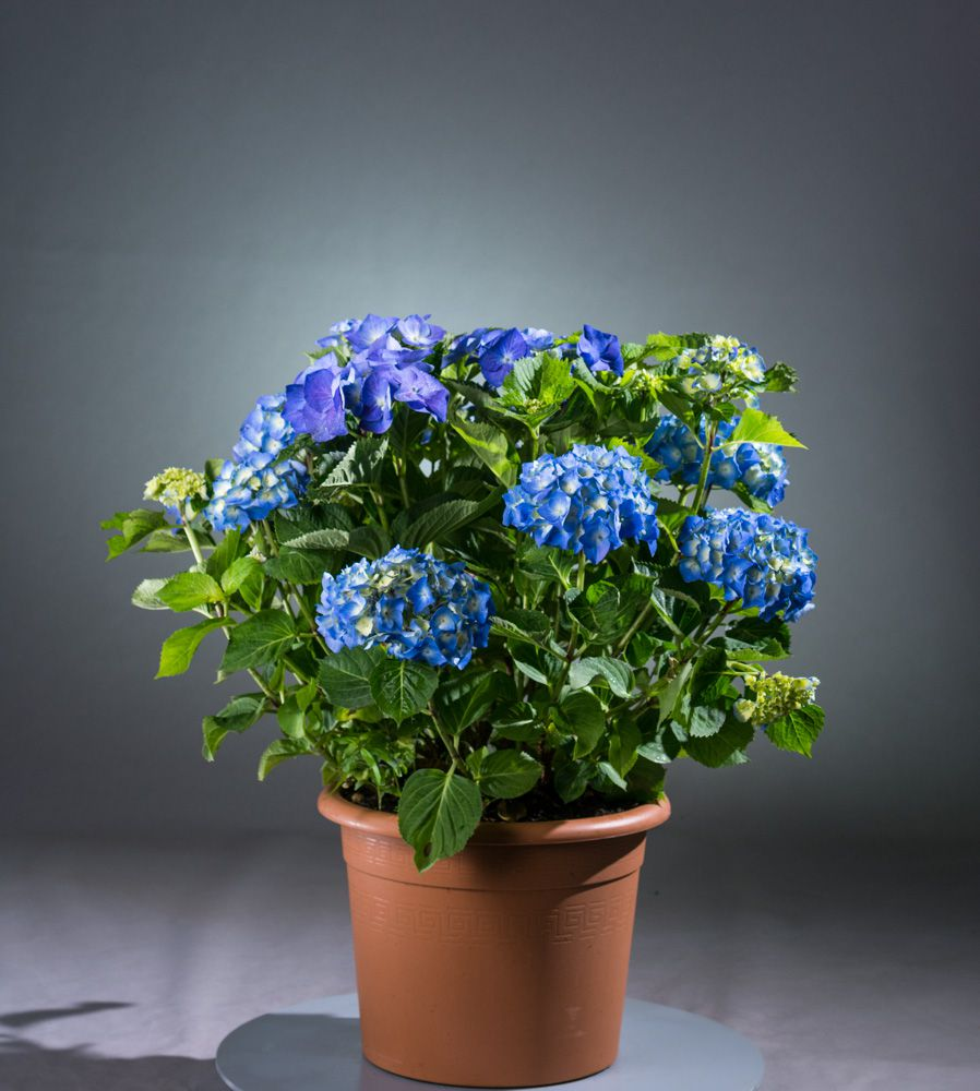 bauernhortensie blaumeise hydrangea macrophylla. Black Bedroom Furniture Sets. Home Design Ideas