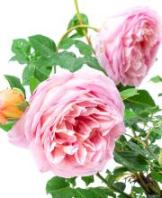 Abraham Darby - David Austin Kletterrose ®