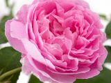 Englische Strauchrose  Mary Rose, Rosa Mary Rose