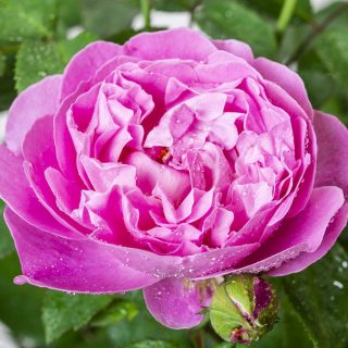 Englische Strauchrose  Mary Rose / Rosa Mary Rose