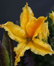 Rhododendron luteum, Rhododendron luteum