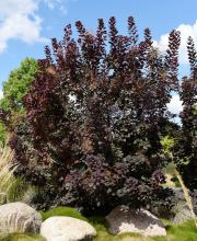 Roter Perückenstrauch Royal Purple, Cotinus coggygria Royal Purple