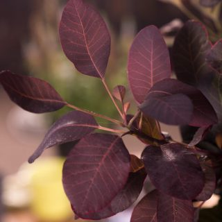 Roter Perückenstrauch Royal Purple / Cotinus coggygria Royal Purple