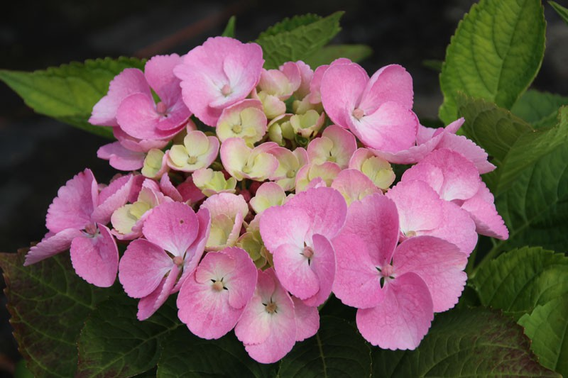 tellerhortensie messalina hydrangea macrophylla. Black Bedroom Furniture Sets. Home Design Ideas