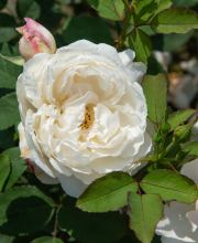 Strauchrose Winchester Cathedral ®, Rosa Winchester Cathedral ®