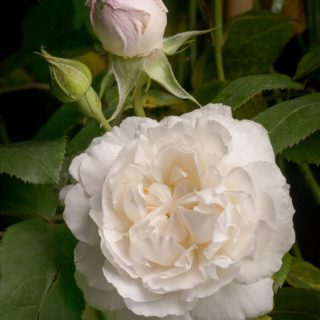 Strauchrose Winchester Cathedral ® / Rosa Winchester Cathedral ®