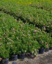 Fingerstrauch Lovely Pink ®  (Pink Beauty), Potentilla fruticosa Lovely Pink ®