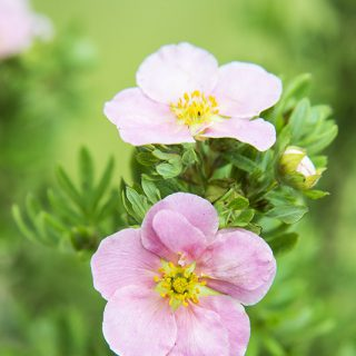 Fingerstrauch Pink Beauty (Lovely Pink)®  / Potentilla fruticosa Pink Beauty (Lovely Pink)