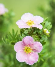 Fingerstrauch Pink Beauty (Lovely Pink)® , Potentilla fruticosa Pink Beauty (Lovely Pink)