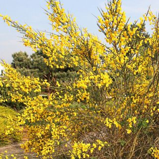 Besenginster / Cytisus scoparius