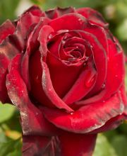 Rose Schwarze Madonna ®