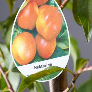 Nektarine Crimson Gold / Prunus nucipersia Crimson Gold