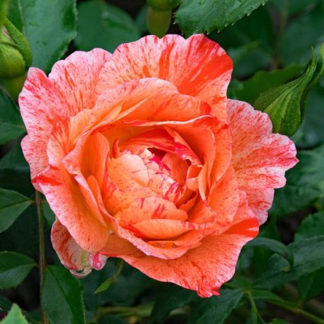 http:maxpixel.freegreatpicture.comRed-Grimaldi-Pink-Rose-Flowers-French-Orange-2410704