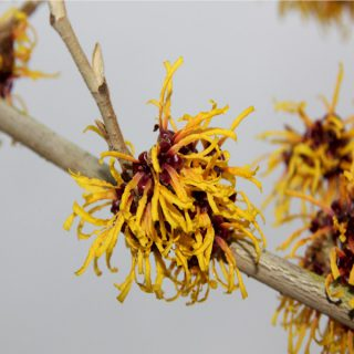 Orangeblühende Zaubernuss / Hamamelis intermedia Orange Beauty